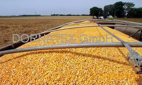 White and Yellow Maize for sale