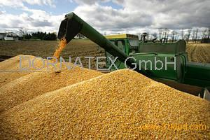 High Quality White and Yellow Corn Maize ready