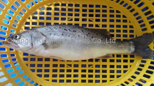 Frozen Seabass fish