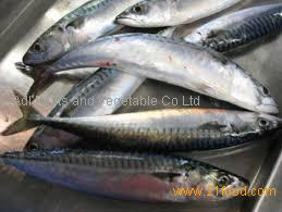 FROZEN MACKEREL, ATLANTIC (Scomber scombrus) SEA FISH