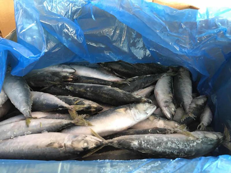 Frozen mackerel I.Q.F.8-10pieces