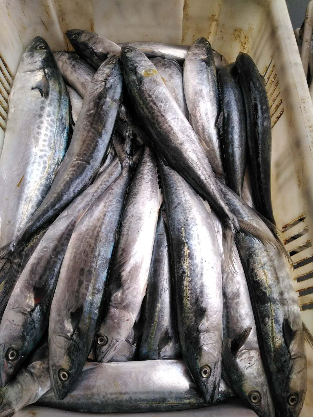 Frozen spanish mackerel I.Q.F.