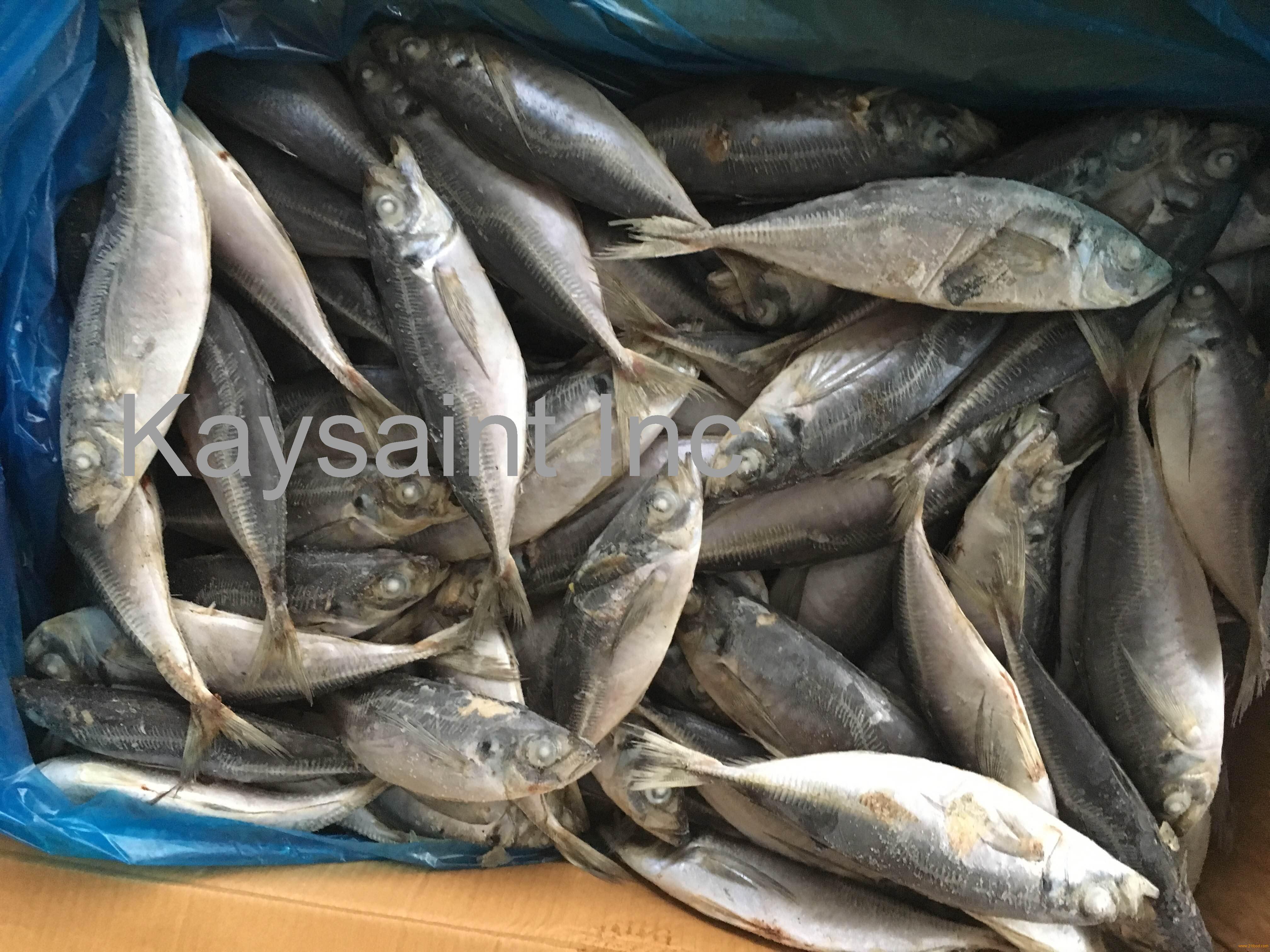 frozen horse mackerel wr