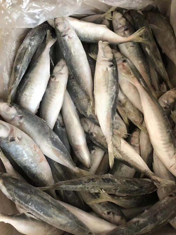horse mackerel I.Q.F.