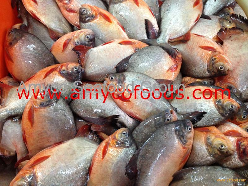 Frozen Red Pomfret/Pacu Whole Round from fresh fish
