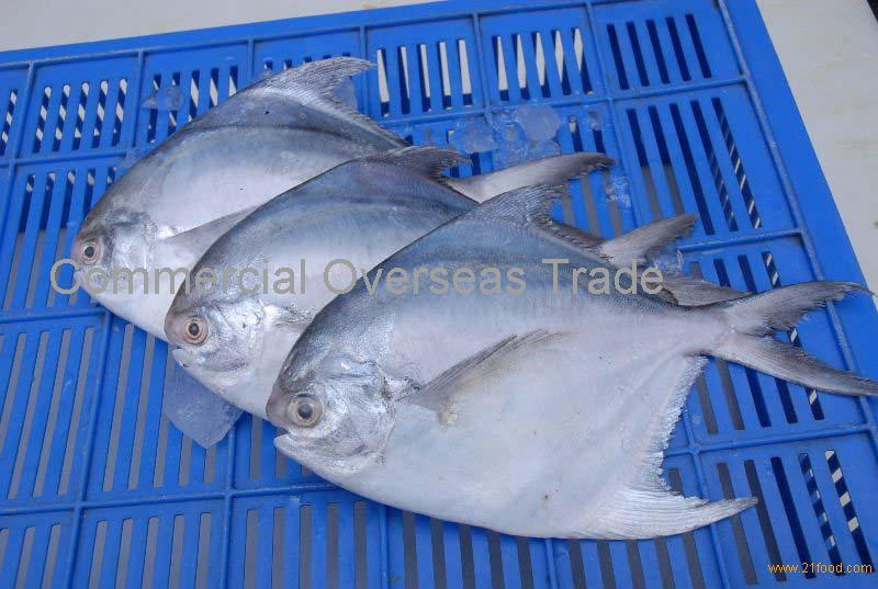 Frozen Silver Pomfret for sale