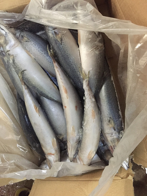 Frozen pacific mackerel 400-600g