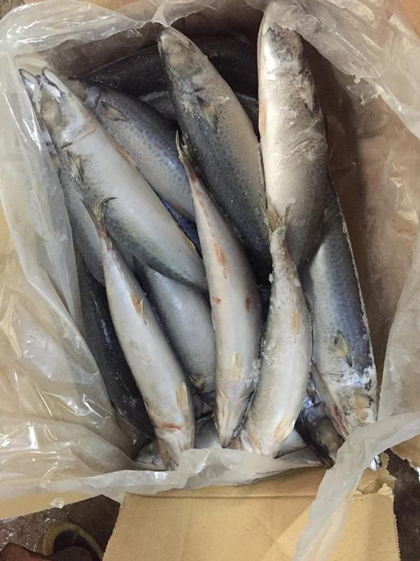 Frozen pacific mackerel light catching