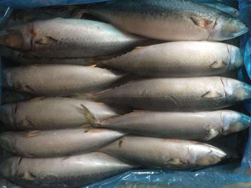 Frozen pacific mackerel big size