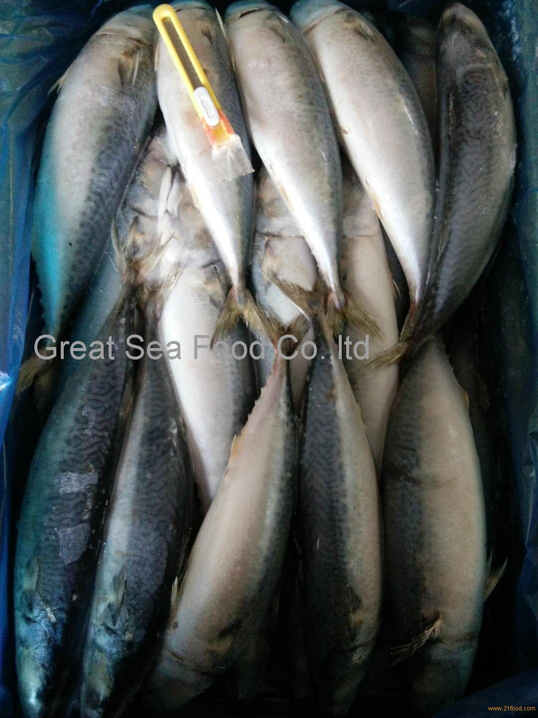 A grade frozen pacific mackerel WR 300-500g/pc for market or canned