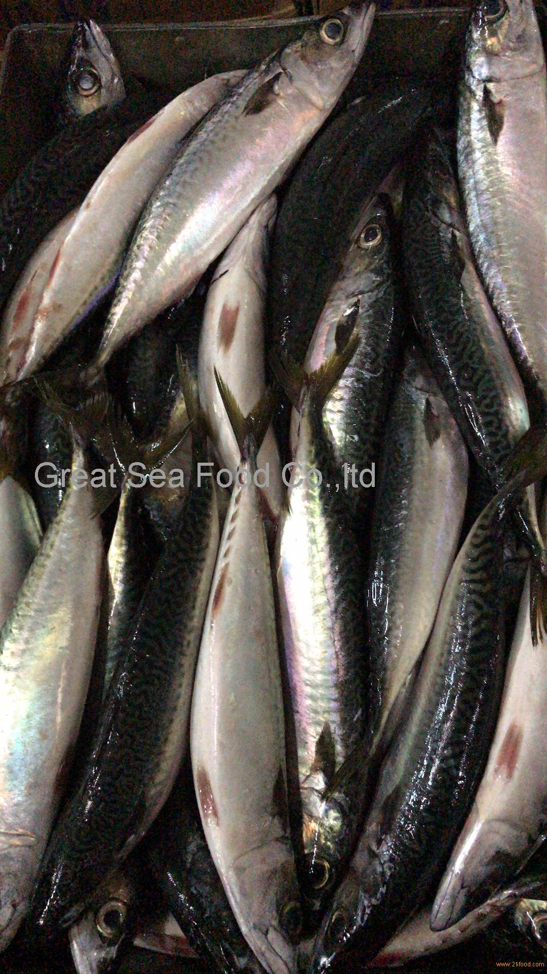 A grade pacific mackerel WR 300g+/pc for market/canned