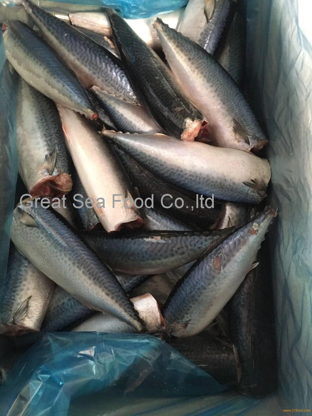A grade pacific mackerel HGT 200-400g/pc for market/canned