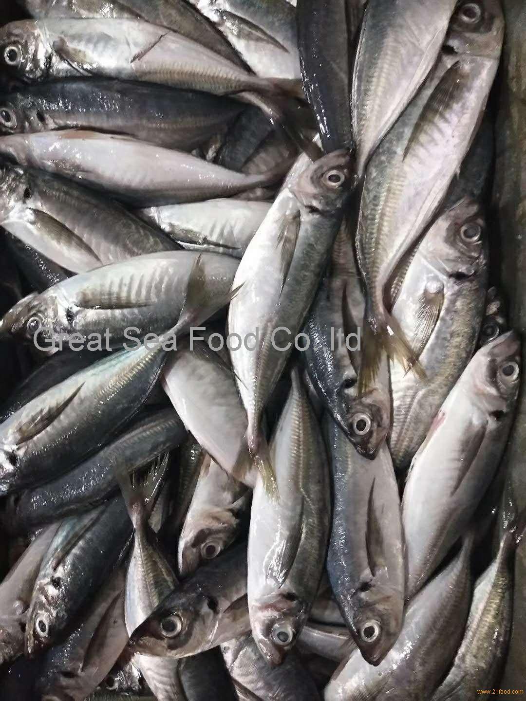 A grade Frozen horse mackerel WR 150g+/pc for market