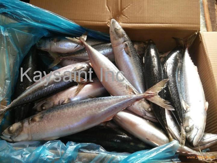 sea frozen10kg carton packing chub mackerel wr