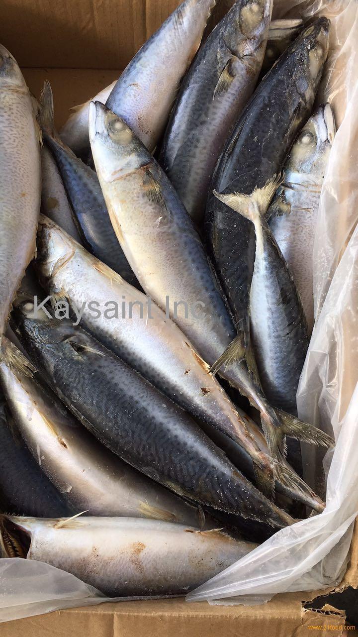 seadream brand sea frozen pacific mackerel