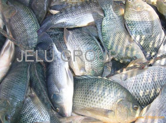 sardines in can 155g , Canned Mackerel Fish in tomato sauce for sale