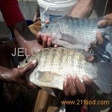 High quality frozen black tilapia with cheap price