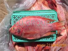 Seafood wholesale top quality fresh fish frozen whole tilapia