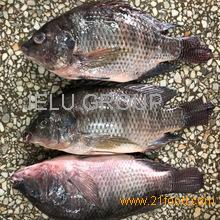 Frozen Tilapia Whole Round 500-800g Fresh Fish