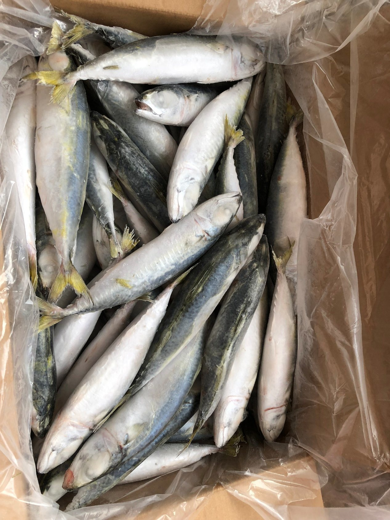 Frozen Pacific Mackerel (Scomber japonicus) , Mackerel Fish
