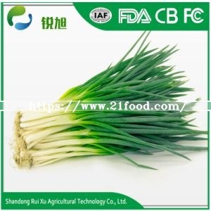 Chinese Fresh Green Onion with Best Price