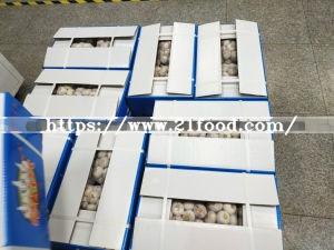Chinese New Crop Fresh Single Solo Garlic