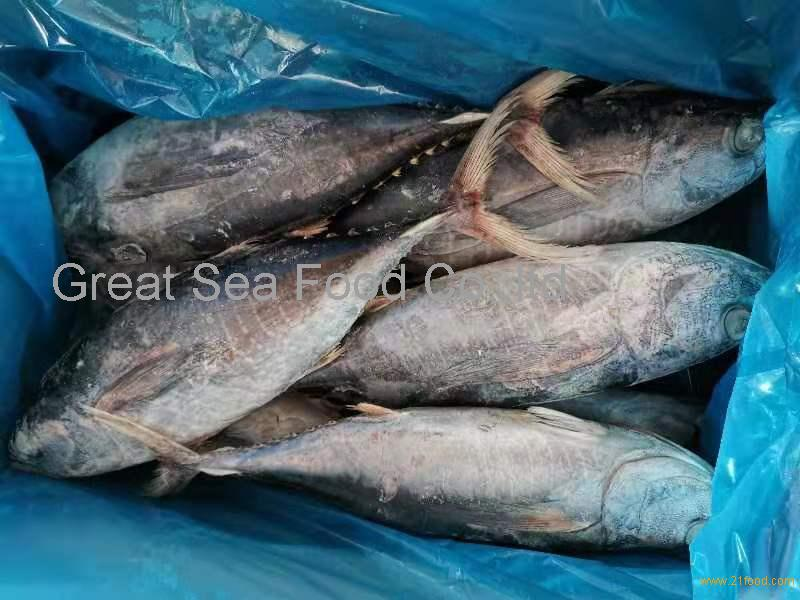 Whole round Frozen Longtail tuna
