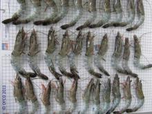 BLACK TIGER BODY SHRIMP - OFCO Quality Services