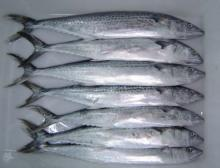 frozen  spanish mackerel whole round / Grade A  frozen  spanish mackerel in  high   quality