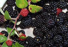 IQF blackberries and frozen blackberries
