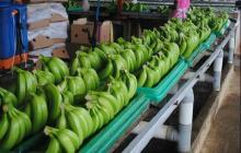 Fresh Green Cavendish Banana