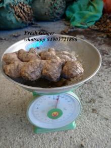 vietnam fresh ginger whatsapp 84903721896