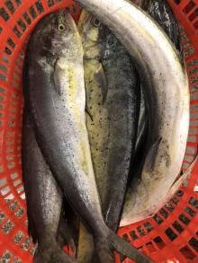 frozen mahi mahi wr gutted/fillet/steak