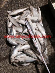 Horse Mackerel Seafrozen/Land Frozen