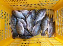 Frozen tilapia whole round IQF