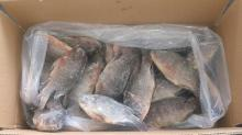 tilapia frozen whole round Just For Your Tongue