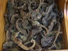 Dry Sea Horse Fish, Sardine Fish,stockfish,cod stock fish For Sale009