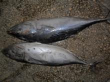 Bonito fish Frozen for CAN just for your Tongue
