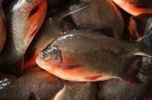 Red Pacu Whole Round good quality good price