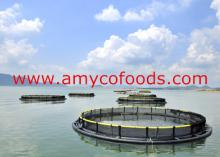 Tilapia cage farmed high quality