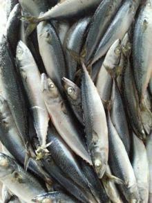 seafrozen mackerel