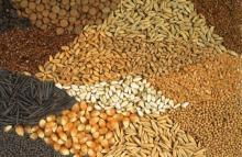 Rape Seeds, Rape Seeds Oil, Rape Seeds, Rape Seeds Oil