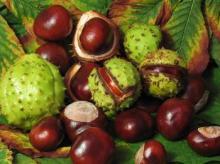 Horse Chestnut Oil in Bulk Wholesale Natural Herbal Oil