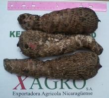 Fresh Lila Malanga From Nicaragua