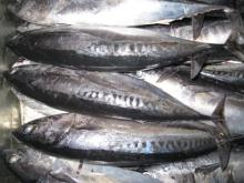 Parrot Fish,Sword Fish,Frozen Mackerel,Yellow Croaker, Black Tiger Shrimps, Slipper Lobster