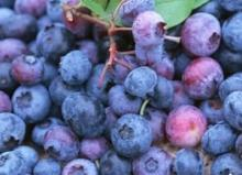 100% Pure organic blueberry concentrate/pure blueberry juice