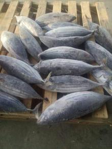 brine frozen skipjack tuna fish WR(whole round)