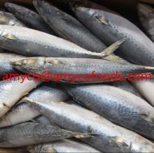 Frozen Pacific Mackerel Whole