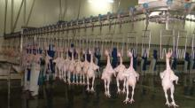 automatic poultry chicken slaughter line slaughter house equipment