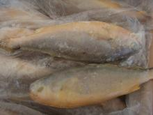 Best Price Frozen Yellow croaker Fish
